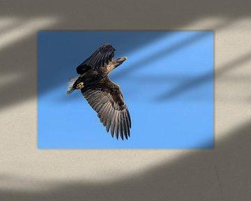 Pygargue à queue blanche ou aigle de mer chassant dans le ciel sur Sjoerd van der Wal