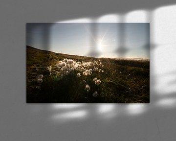 Blumenwiese auf Svalbard (Svalbard Cotton) von Kai Müller
