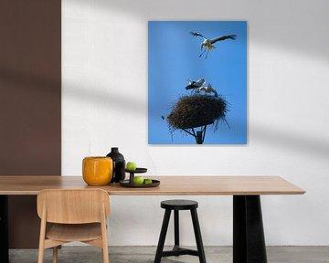 Ooievaarsclash op het nest van Jeroen Lagerwerf