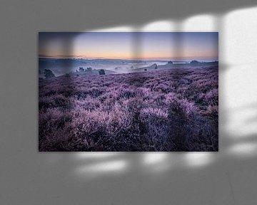 Purple heather in the dawn van Eric Hendriks