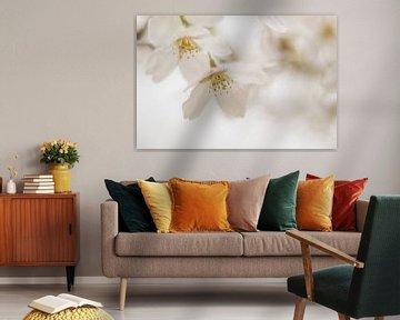 Blüte von Rosalie Oosterom