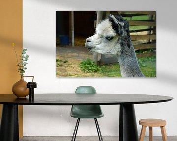 Alpaka Portrait von Susanne Seidel