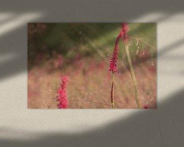 Persicaria in veld met gewoon struisgras van Anita Blokzijl