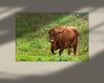Rotbraune schottische Hochlandrinder in freier Wildbahn im Gras von Trinet Uzun