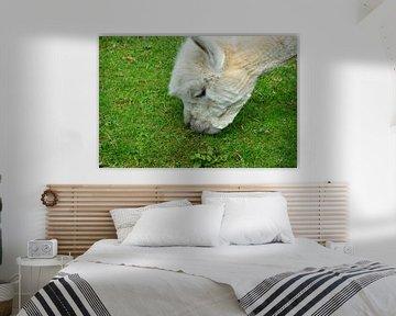 Alpaka frisst von Susanne Seidel