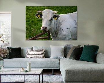 Glückliche Kuh in der Eifel von Susanne Seidel