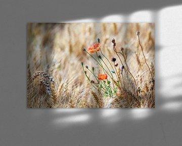 Wilde Klaproos met distels in een korenveld van Evert Jan Luchies