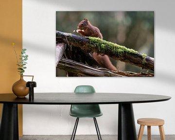 Fressendes Eichhörnchen. Einzelstück von Anjella Buckens