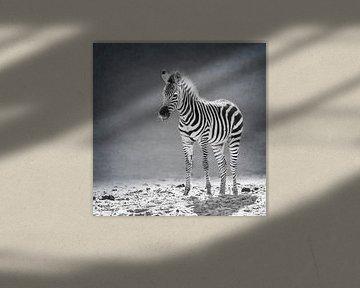 Neugeborenes Zebra (schwarz-weiß) von Fotografie Jeronimo