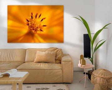 Oranje cosmos van Bärbel Severens