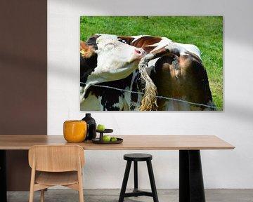 Schnappschuss Kuh beim Putzen von Susanne Seidel