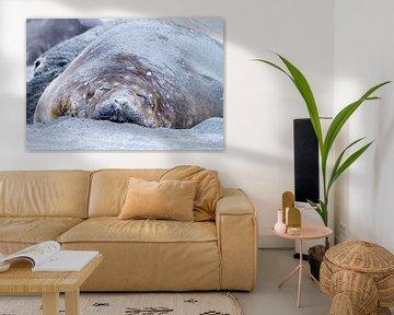 Schlafender See-Elefant von Angelika Stern