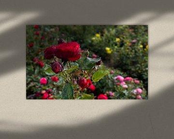 champ avec de vieilles roses rouges