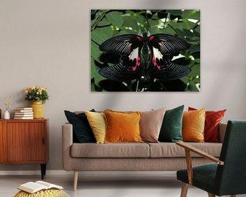 Twee parende Papilio rumanzovia vlinders. van Il se