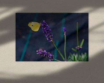 Schmetterling auf violetter Blüte von Michel Groen