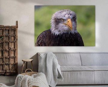 Weißschwanz-Seeadler. Antje der Adler von Anjella Buckens