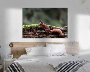 Eichhörnchen gesammelte Walnuss von Anjella Buckens