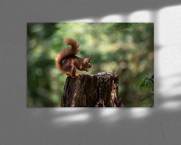 Wendiges Eichhörnchen von Anjella Buckens