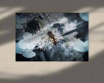 Schwebfliege auf weißen Blüten von Jayzon Photo