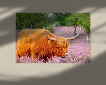 Schotse Hooglanders in een bloeiend heideveld van Sjoerd van der Wal