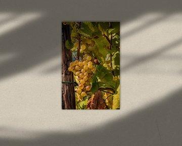 Druivenplukken België van Dirk Smit