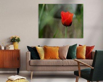 Tulpe von hetty'sfotografie
