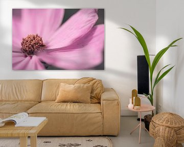 Großer rosa Cosmos / Cosmea-Blüte Nahaufnahme von KB Design & Photography (Karen Brouwer)