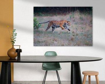 Laufender bengalischer Tiger (Panthera tigris tigris) über eine Waldlichtung von Nature in Stock