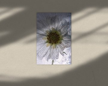 Weiße Cosmea in Eis von Marc Heiligenstein