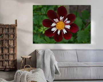 Chrysanthemum, Rood/wit van Patricia Leeman