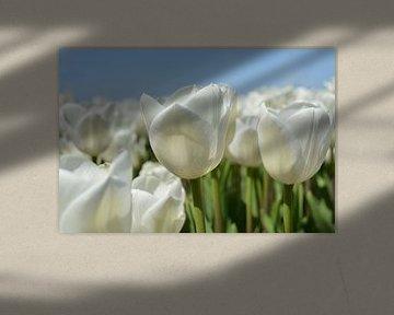 Tulpen, wit van Patricia Leeman