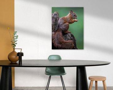 Rotes Eichhörnchen von Linda Raaphorst