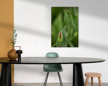 rote Tulpe kurz vor dem Erblühen von Anneliese Grünwald-Märkl
