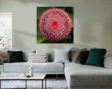 Stekelig: Close-up van een roze cactusbloem von Tessa Louwerens