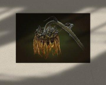 verblühte Sonnenblume von Dieter Beselt