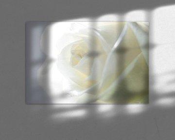 Witte Roos (Macro) van hetty'sfotografie