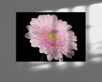 Gerbera-Blüte Nahaufnahme von Tomasz Baranowski
