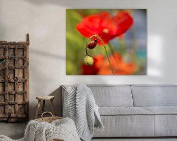 Lieveheersbeestje op klaproos van Alex Dallinga