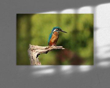 Ijsvogel van Rodney Pauwels