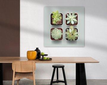 Vier Vetplantjes van Color Square