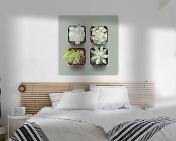 Fettpflanzen von Color Square