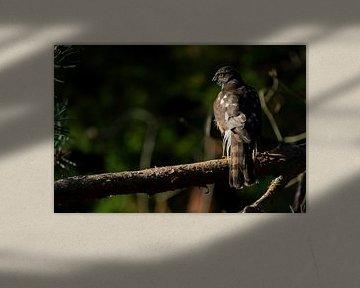 Épervier, oiseau de proie