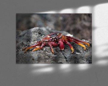 Crabe des rochers rouge sur Angelika Stern
