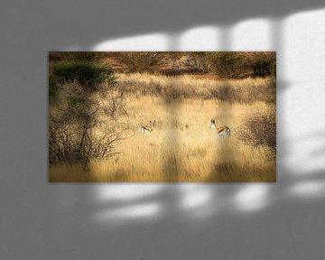 Treffen zwischen zwei Springböcken, Namibia. von Rietje Bulthuis