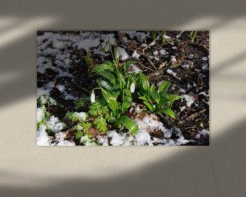 Sneeuwklokje von Brigitte Koster