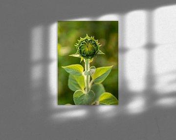 Sonnenblume vor der Blüte von Petra Kroon
