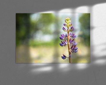 Eine violette Lupinenblüte (Lupinen) im Frühling von Carola Schellekens