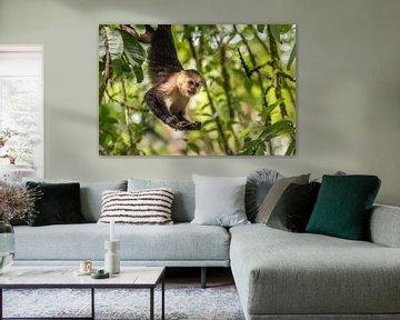 Capuchin Monkey 2 - met Sprinkhaan
