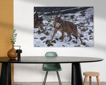 graue Wölfe im Schnee von gea strucks