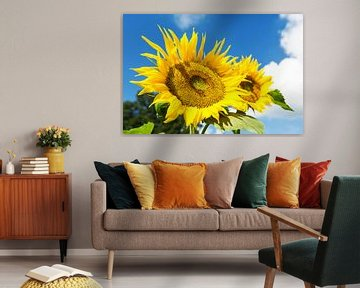 Sonnenblume von Frank Herrmann